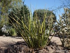 1 Las Vegas. Ethel M Cactus Garden. Coahuilan Hesperaloe (Hesperaloe funifera )