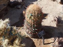 1 Las Vegas. Ethel M Cactus Garden. Compass Barrel Cactus (Ferocactus cylindraceus) (2)