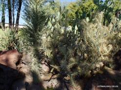 1 Las Vegas. Ethel M Cactus Garden. Cylindropuntia molesta (3)