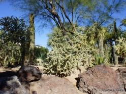 1 Las Vegas. Ethel M Cactus Garden. Cylindropuntia molesta