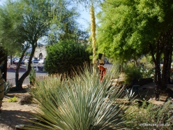1 Las Vegas. Ethel M Cactus Garden. Desert Spoon (Dasylirion wheeleri) (2)