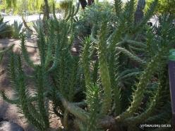 1 Las Vegas. Ethel M Cactus Garden. Eve's Needle Cactus (Austrocylindropuntia subulata)