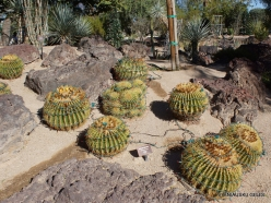 1 Las Vegas. Ethel M Cactus Garden. Golden barrel (Echinocactus grusonii)
