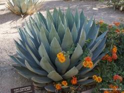 1 Las Vegas. Ethel M Cactus Garden. Huachuca agave (Agave parryi var. Huachucensis)