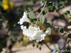 1 Las Vegas. Ethel M Cactus Garden. Littleleaf cordia (Cordia parviflora)
