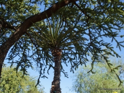 1 Las Vegas. Ethel M Cactus Garden. Mojave yucca (Yucca schidigera)