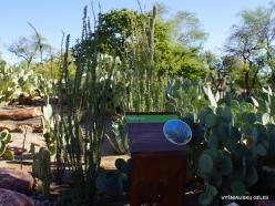 1 Las Vegas. Ethel M Cactus Garden. Ocotillo (Fouquieria splendens)