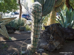 1 Las Vegas. Ethel M Cactus Garden. Old Man of the Andes (Oreocereus celsianus)
