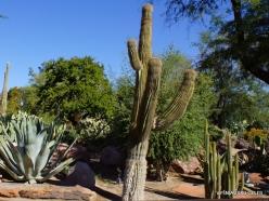 1 Las Vegas. Ethel M Cactus Garden. Saguaro (Carnegiea gigantea) (3)