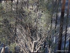 1 Las Vegas. Ethel M Cactus Garden. Silver Leaf Cassia (Senna phyllodinea)
