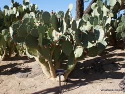 1 Las Vegas. Ethel M Cactus Garden. Texas Prickly Pear (Opuntia lindheimeri)