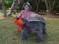 Seychelles. Curieuse. Aldabra giant tortoise (Aldabrachelys gigantea) (10)