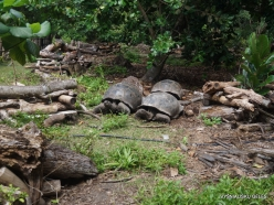 Seychelles. Curieuse. Aldabra giant tortoise (Aldabrachelys gigantea) (11)