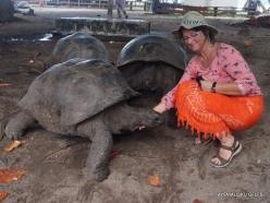 Seychelles. Curieuse. Aldabra giant tortoise (Aldabrachelys gigantea) (2)