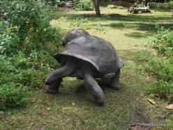 Seychelles. Curieuse. Aldabra giant tortoise (Aldabrachelys gigantea) (3)