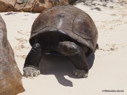 Seychelles. Curieuse. Aldabra giant tortoise (Aldabrachelys gigantea) (4)
