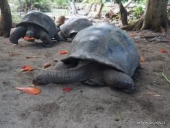 Seychelles. Curieuse. Aldabra giant tortoise (Aldabrachelys gigantea) (7)
