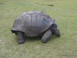 Seychelles. Curieuse. Aldabra giant tortoise (Aldabrachelys gigantea) (8)