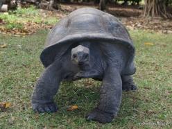 Seychelles. Curieuse. Aldabra giant tortoise (Aldabrachelys gigantea) (9)