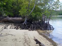 Seychelles. Curieuse. Mangrove. Avicennia marina (2)