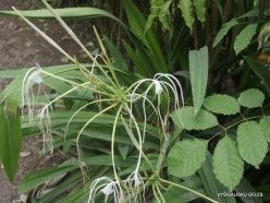 Seychelles. La Digue. Hymenocallis harrisiana