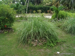 Seychelles. La Digue. Lemongrass (Cymbopogon sp.)