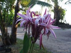 Seychelles. Praslin. Anse La Blague. Crinum Lily (Crinum augustum)