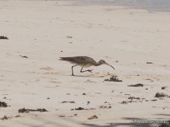 Seychelles. Praslin. Anse La Blague. Curlew Sandpiper (Calidris ferruginea)