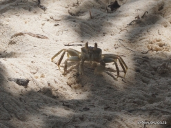 Seychelles. Praslin. Anse La Blague. Horned Ghost Crab (Ocypode ceratophthalma) (2)