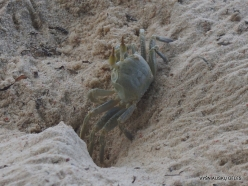 Seychelles. Praslin. Anse La Blague. Horned Ghost Crab (Ocypode ceratophthalma)