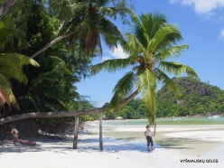 Seychelles. Praslin. Anse Volbert. Coconut Palm Tree (Cocos nucifera)
