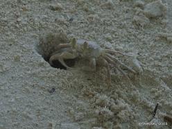 Seychelles. Praslin. Anse Volbert. Horned Ghost Crab (Ocypode ceratophthalma)