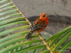 Seychelles. Praslin. Anse Volbert. Red Fody (Foudia madagascariensis)