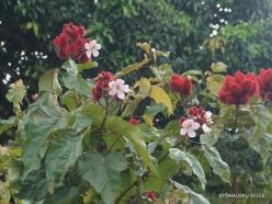 Seychelles. Praslin. Baie Ste Anne. Achiote (Bixa orellana) (2)