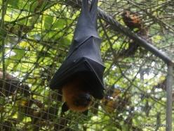 Seychelles. Praslin. Cote d'Or. Seychelles flying fox (Pteropus seychellensis) (2)