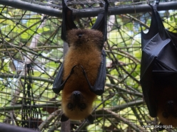 Seychelles. Praslin. Cote d'Or. Seychelles flying fox (Pteropus seychellensis) (3)