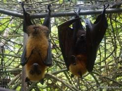 Seychelles. Praslin. Cote d'Or. Seychelles flying fox (Pteropus seychellensis) (4)