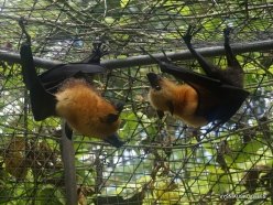 Seychelles. Praslin. Cote d'Or. Seychelles flying fox (Pteropus seychellensis) (5)