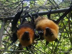 Seychelles. Praslin. Cote d'Or. Seychelles flying fox (Pteropus seychellensis) (6)