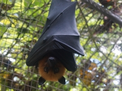 Seychelles. Praslin. Cote d'Or. Seychelles flying fox (Pteropus seychellensis) (7)