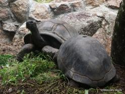 Seychelles. Praslin. Fond Ferdinand. Aldabra giant tortoise (Aldabrachelys gigantea) (Aldabrachelys gigantea)
