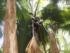 Seychelles. Praslin. Fond Ferdinand. Coco de Mer (Lodoicea maldivica)