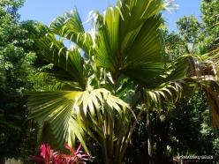 Seychelles. Praslin. Fond Ferdinand. Juvenile of Coco de Mer (Lodoicea maldivica) (3)