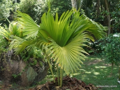 Seychelles. Praslin. Fond Ferdinand. Juvenile of Coco de Mer (Lodoicea maldivica)