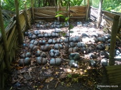 Seychelles. Praslin. Fond Ferdinand. Nursery of Coco de Mer (Lodoicea maldivica)