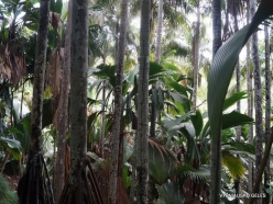 Seychelles. Praslin. Valle de Mai (2)