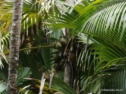 Seychelles. Praslin. Valle de Mai. Coco de Mer (Lodoicea maldivica) (3)