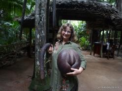 Seychelles. Praslin. Valle de Mai. Fruit of Coco de Mer (Lodoicea maldivica) (2)