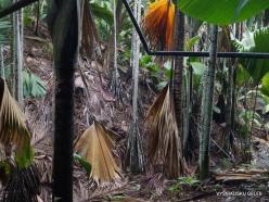 Seychelles. Praslin. Valle de Mai. Horne's Pandanus (Pandanus hornei) (2)