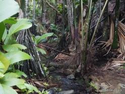 Seychelles. Praslin. Valle de Mai. Horne's Pandanus (Pandanus hornei) (3)